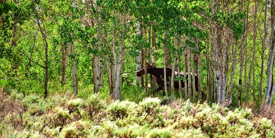 Animal Walking Through The Scofield Forests