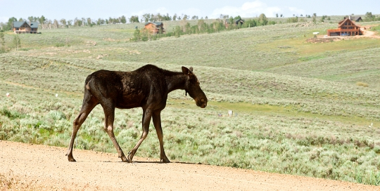 Moose Wandering the Scofield Properties